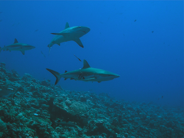 Shark Sanctuary in Palau