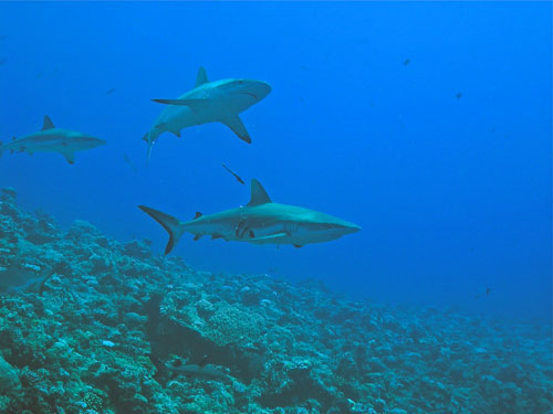 Blue Corner Palau