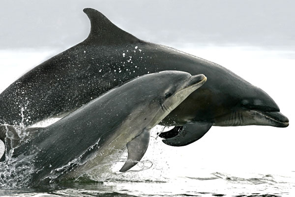 Dolphins in North Sea