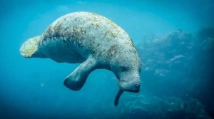 Manatee Rendezvous in Yucatan - Copyright XTC Dive Center