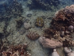 Colony of Giant Clams in Palau