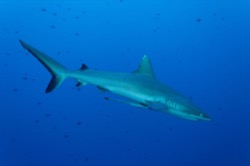 Grey reef shark Palau